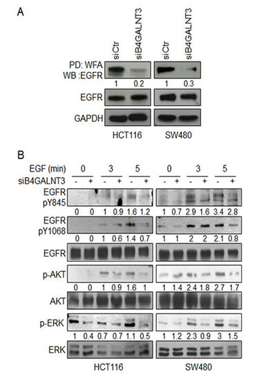 Effects of B4GALNT3 on EGFR glycosylation and signaling.