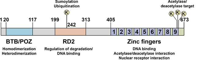 Schematic representation of PLZF functional domains.