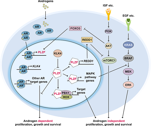PLZF regulatory network in prostate cancer.