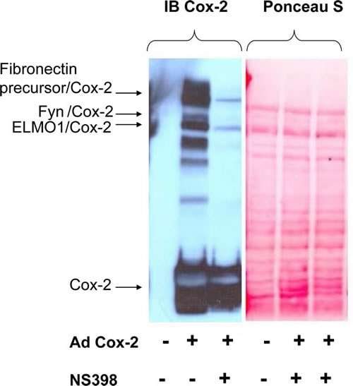 Identification of covalent adducts between COX2 and unknown proteins.