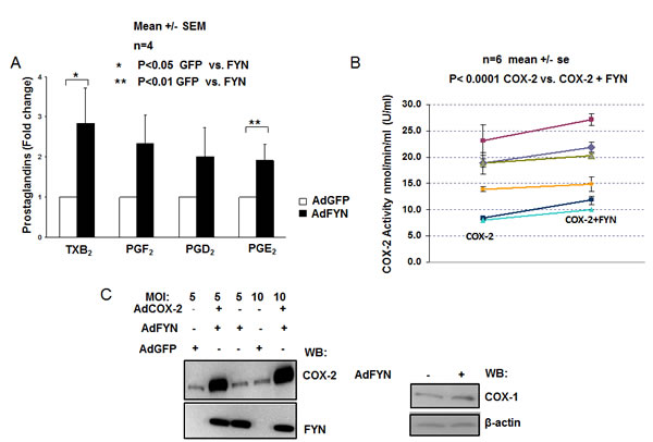 FYN increases COX2 activity independent of changes in COX gene expression (A) FYN increases cyclooxygenase activity resulting in elevated production of prostaglandins in DU145 cells.