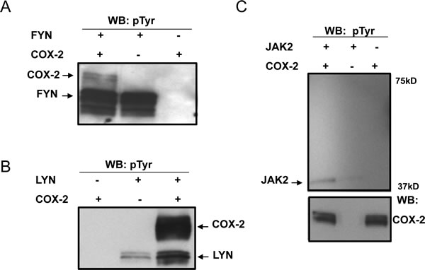 COX2 is a substrate for direct phosphorylation by Src family kinases in vitro.