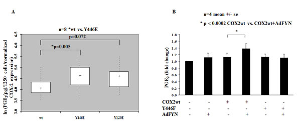 Phosphorylation of Tyrosine Y446 residue on COX2 leads to increased activity of the enzyme.