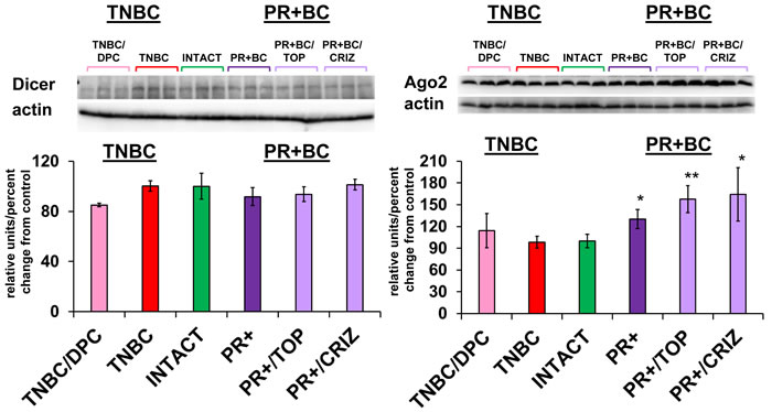 Levels of Dicer and Ago2 in the PFC tissues of intact and TNBC and PR+BC-bearing chemotherapy treated and untreated TumorGraft mice.