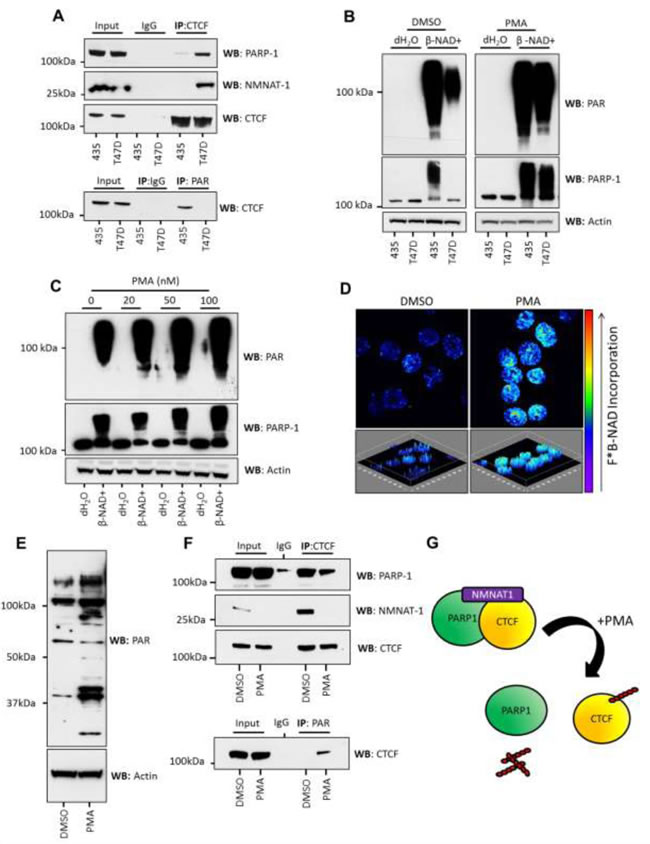 PMA stimulation of PARylation in T47D cells is accompanied by the loss of NMNAT-1 from inactive CTCF/PARP-1 protein complexes.