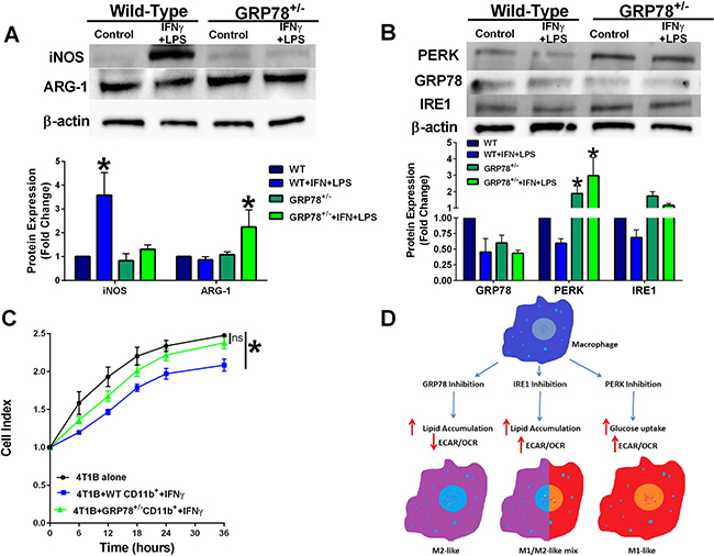 Macrophages isolated from GRP78 heterozygous mice have reduced cytolytic capacity.