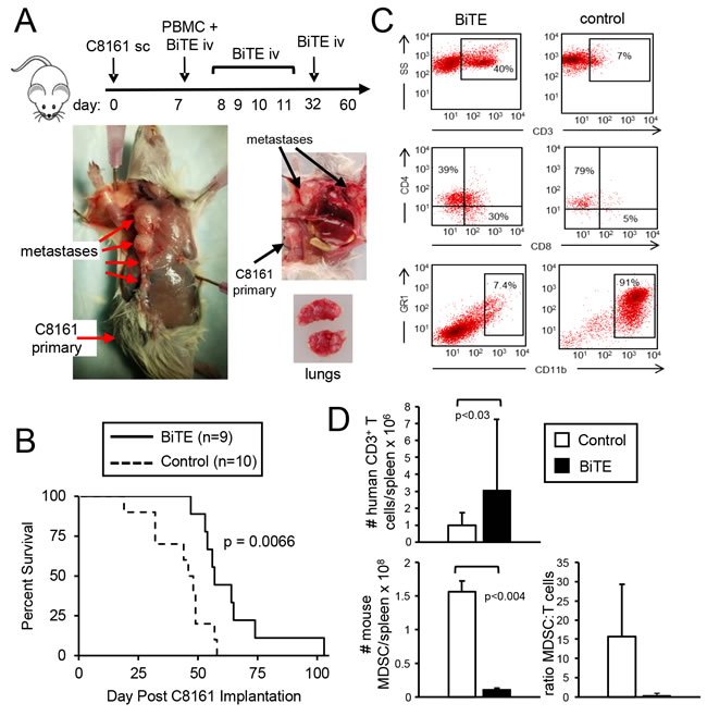 CD3xPDL1 BiTE significantly extends the survival time of humanized NSG mice reconstituted with human PBMC and carrying established metastatic human melanoma C8161.