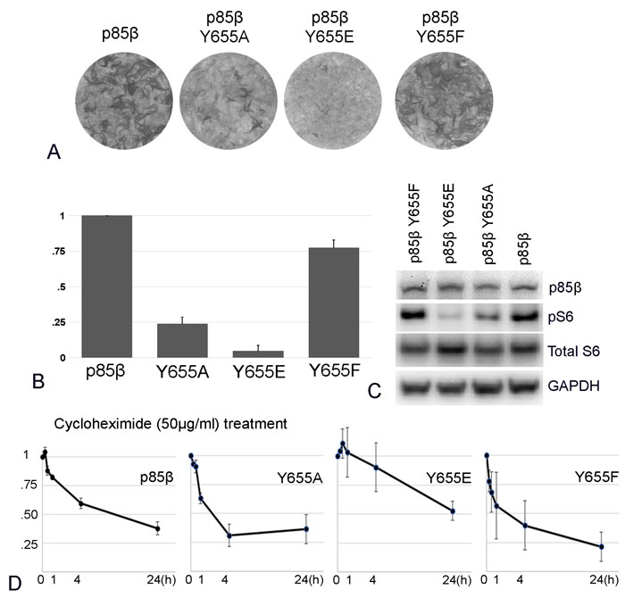 p85β protein stability and oncogenic activity.