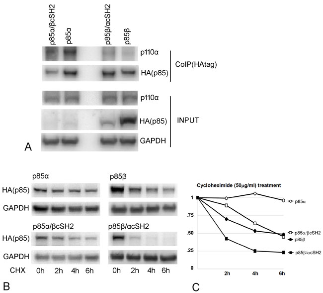 Protein interactions and stability of p85 cSH2 exchange mutants.