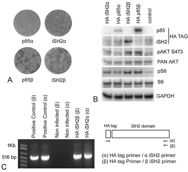 Expression of the isolated iSH2 domains enhances oncogenic and signaling activity of PI3K.
