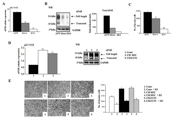 uPAR regulates invasion of melanoma cells.