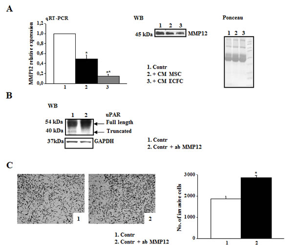 MMP-12 down-regulation correlates with high levels of full length uPAR and A375 invasiveness.
