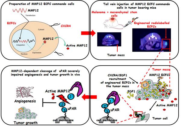 Schematic representation of the concept of ECFCs as cellular vehicles delivering anti-tumor uPAR degrading enzyme.