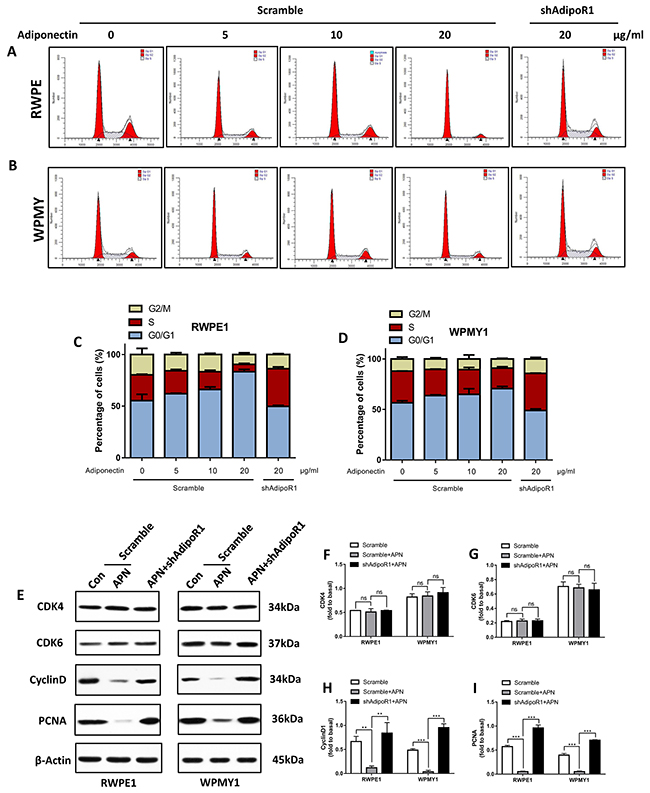Adiponectin arrests prostatic cells in the G0/G1 phase.