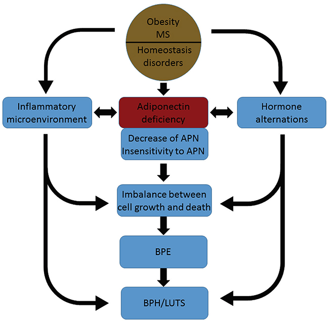A diagram for our hypothesis that adiponectin deficiency links obesity with BPH.