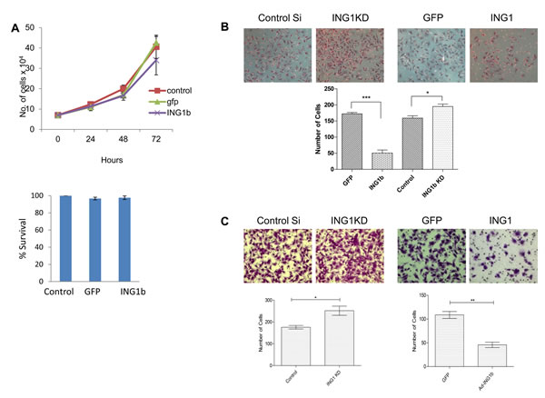 ING1 protein levels regulate migration and invasion of MDA-MB231 cells