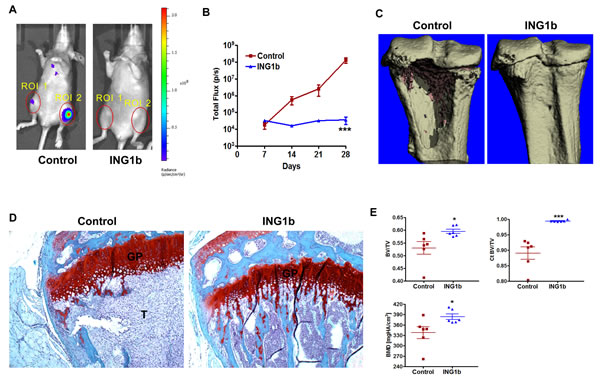 ING1b completely blocks the initiation and progression of knee metastasis (A) Representative ventral BLI are shown from control and ING1b overexpressing mice to visualize differences in knee metastasis between these groups.