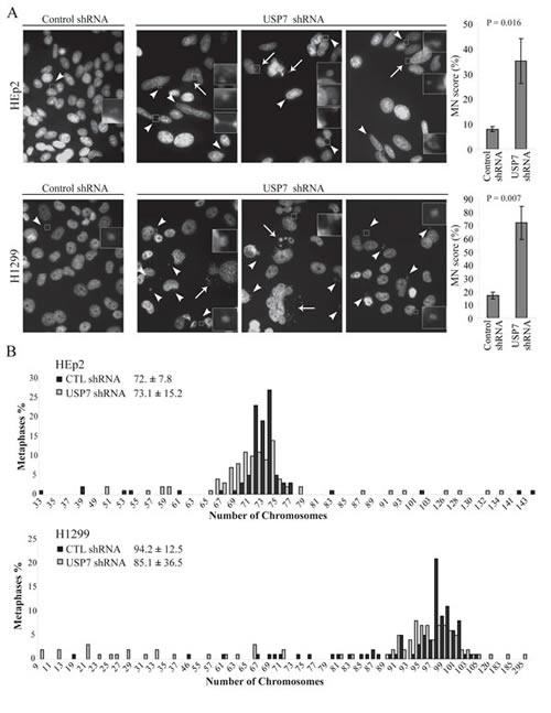 Fig. 1: Depletion of USP7 increases genomic instability.