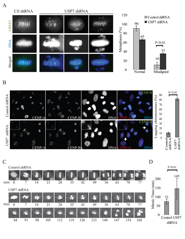 Fig. 5: USP7 depletion causes mitotic abnormalities.