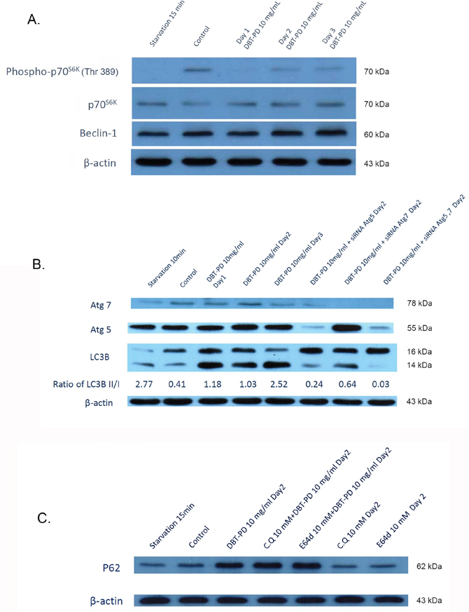 Western blot of CT26 colorectal adenocarcinoma cells after treatment of 10 mg/mL DBT-PD.