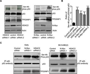 N-Myc and HDAC2 block p53 protein phosphorylation at Ser-46.