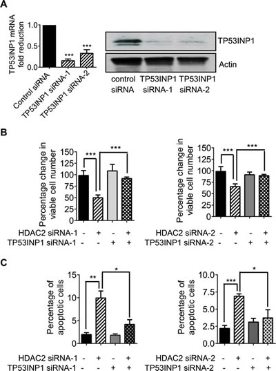 Transcriptional repression of TP53INP1 protects neuroblastoma cells against apoptosis.