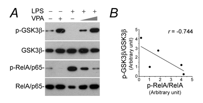 The LPS-elicited GSK3β overactivity and NFkB hyperactivation in podocytes is obliterated by valproate.