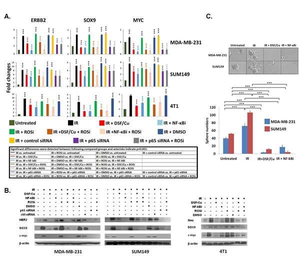 Inhibition by DSF/Cu of IR-induced stemness gene upregulation at the mRNA and protein levels of BC cells