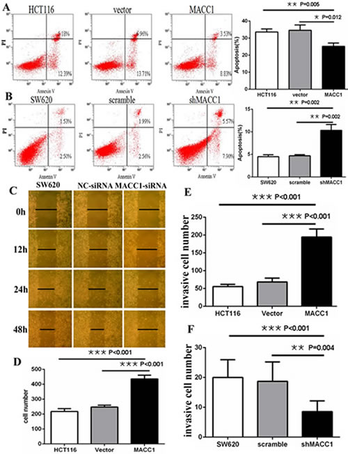 MACC1 inhibited or induced apoptosis in HCT116 cells (A) stably with MACC1 over-expression or SW620 cells (B) stably with shMACC1 compared with the control groups by flow cytometry analysis; MACC1 knockdown inhibited migration (C) and invasion (F) of SW620 cells compared with control groups by scratch wound assay and transwell invasion assay, respectively.