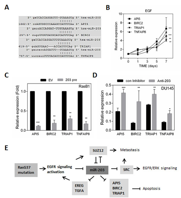 miR-203 regulates anti-apoptotic proteins and oncogenic molecule in KRAS activated prostate cancer cells.