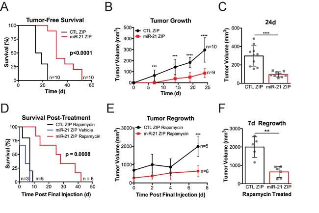 miR-21 promotes the growth of Tsc2