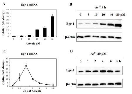Fig 1: Arsenic treatment induces Egr-1 expression.
