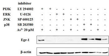 Fig 3: ERK and JNK pathway is required for induction of Egr-1 by As