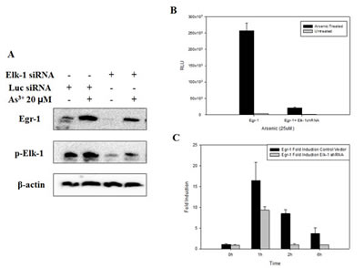 Fig 5: Inhibition of Elk-1 by shRNA or siRNA inhibits Egr-1 protein expression, promoter activity and mRNA synthesis.