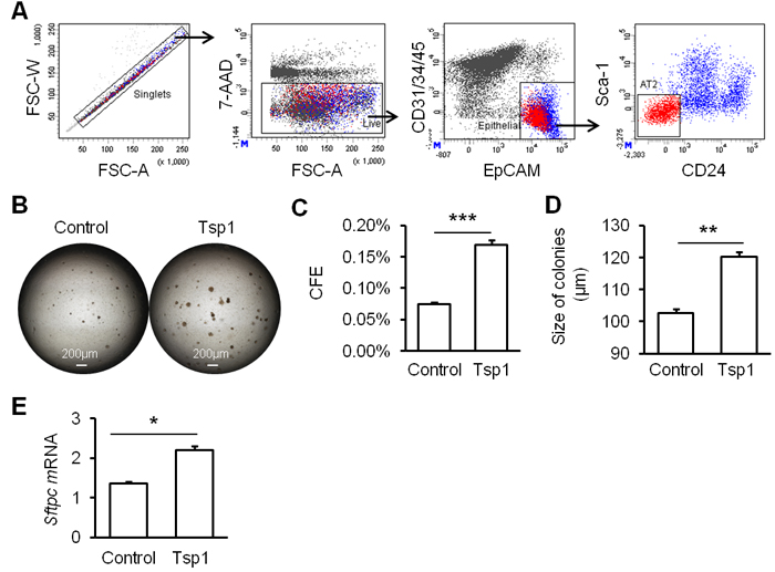 Tsp1 promotes mouse AT2 cell proliferation.