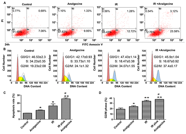 A549 cells treated with Analgecine and IR show increased apoptosis and G2/M cell cycle arrest.