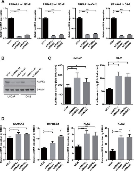Silencing of AMPK increases the transcriptional activity of AR.