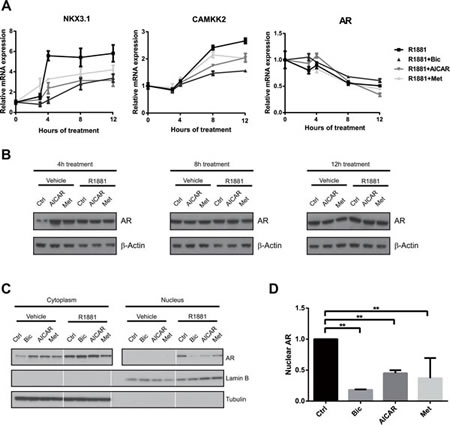 Activation of AMPK reduces nuclear localisation, but not expression of AR.