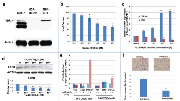 The expression of VDR, LCN2 mRNA and protein in SNU1079 human ICC cells and evaluation of 1α,25(OH)