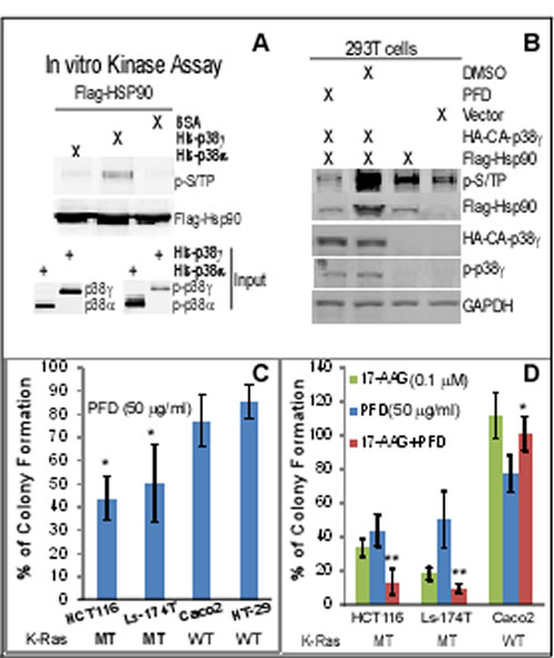 p38γ phosphorylates Hsp90, and the p38γ pharmacological inhibitor pirfenidone (PFD) blocks Hsp90 phosphorylation, more effectively inhibits the K-Ras dependent growth
