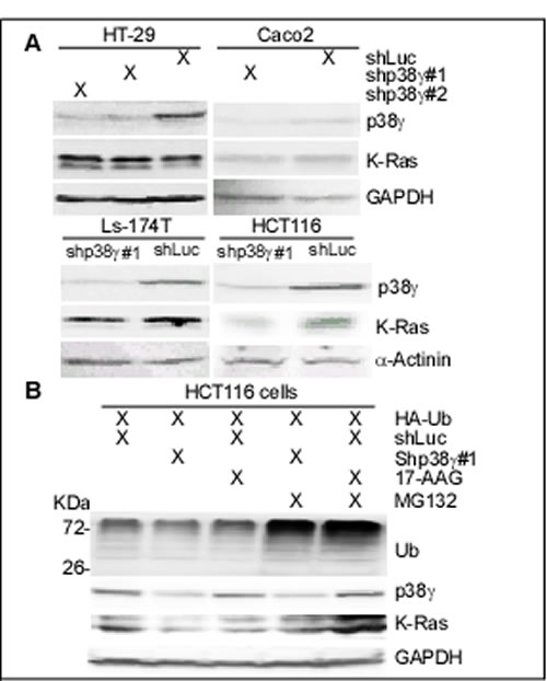 p38γ depletion selectively depletes K-Ras protein in K-Ras MT colon cancer cells.