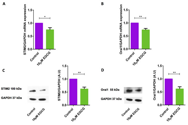 EGCG significantly decreased STIM2 and Orai1 transcript levels and protein abundance in murine CD4