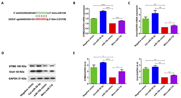 miR-15b mimic overexpression significantly decreased STIM2 and Orai1 transcript levels and protein abundance in murine CD4