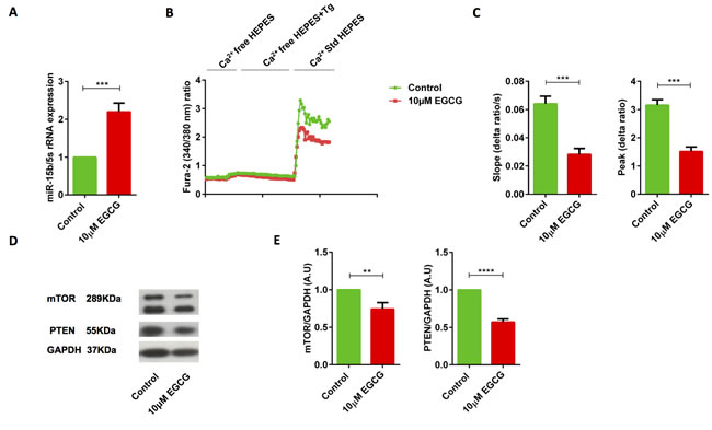 EGCG treatment significantly increased miR-15b expression, decreased SOCE, reduced PTEN and mTOR protein levels in human Jurkat T cells.