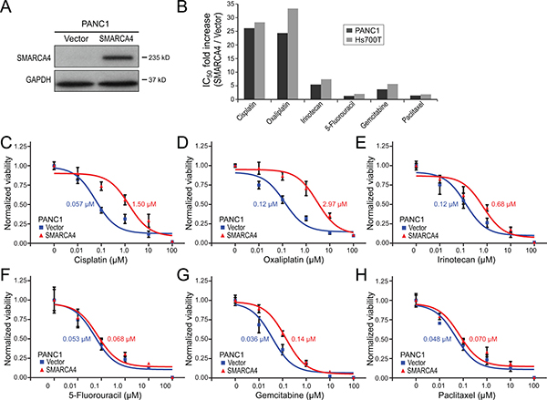 SMARCA4 re-expression in SMARCA4-deficient pancreatic cancer cells reduces sensitivity to DNA-damaging agents.