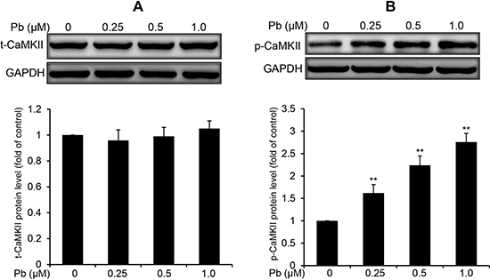 Pb elevated the phosphorylation of CaMKII in rPT cells.