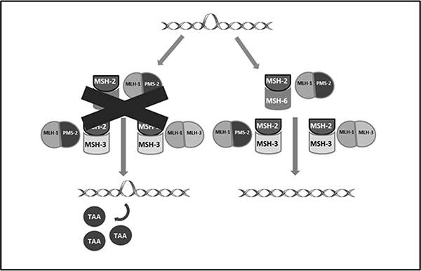Shows proteins involved in DNA mismatch repair system and the formation of neoantigens resulting from their deficiency.