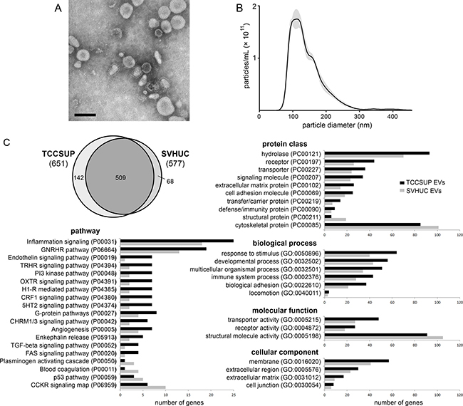 Isolation and proteomic analysis of bladder cancer EVs.