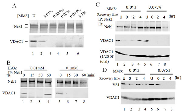 Interaction between Nek1 and VDAC1 depends on the dose of the genotoxic agent.