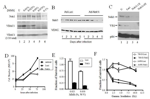 Downregulation of Nek1 expression allows RCC cells more sensitive to genotoxic agents.